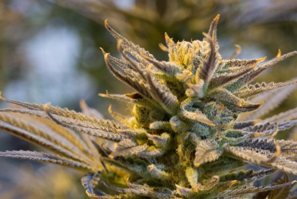 THRIVE Cannabis Marketplace Girl Scout Cookies Strain