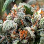 sour diesel marijuana in Las Vegas