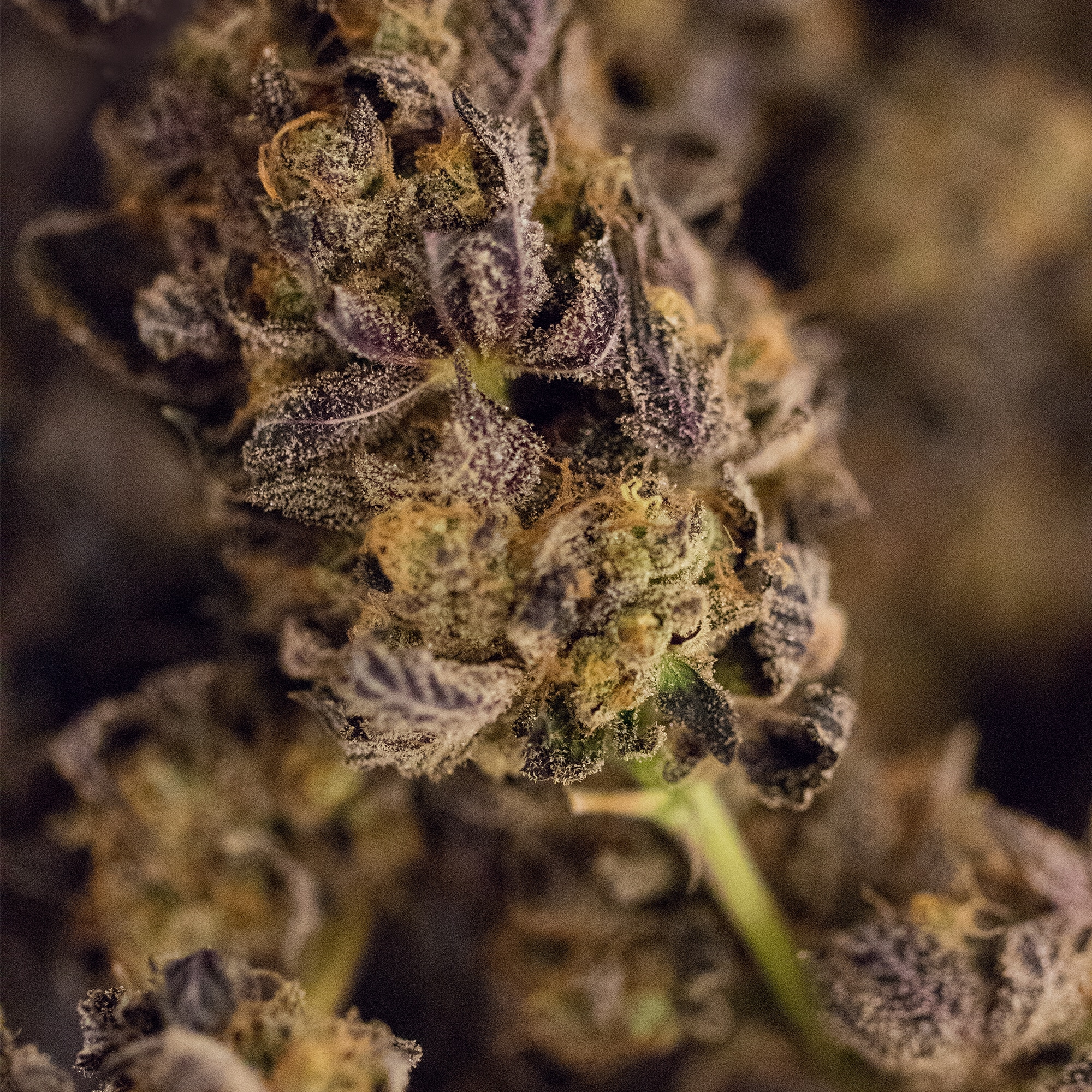 Close up image of marijuana