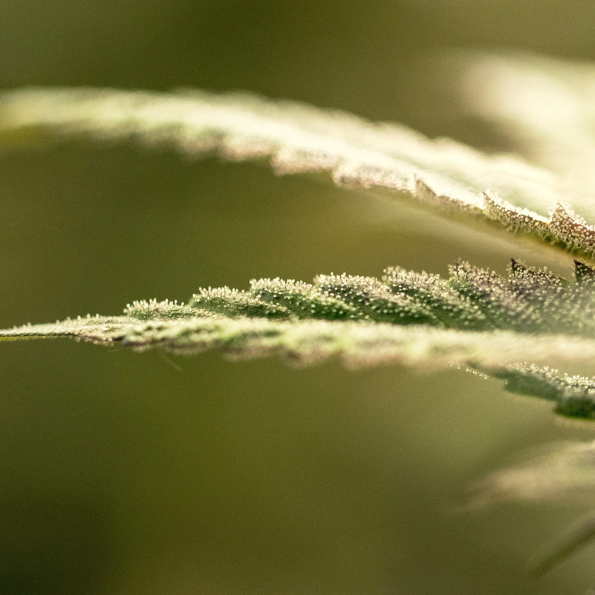 Close up of Cannabis